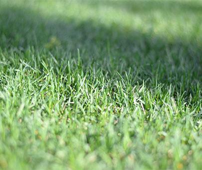 Газонные травы